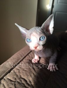 ***Bare It All Sphynx Has Babies***