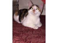 12 week old female kitten for sale