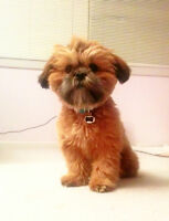 Adorable Shih Tzu x Havanese - SPAYED and TRAINED!