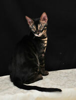 Bengal cat almost 3 years old