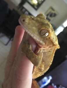 Beautiful crested gecko with complete set up London Ontario image 3