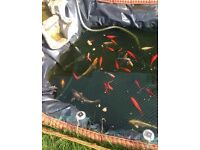 Beautiful healthy goldfish for sale