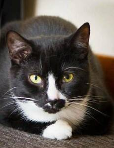 AK0921: Terry - CAT for ADOPTION - Vet work included Beckenham Gosnells Area Preview