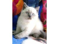 Adorable Blue point Colourpoint BSH kittens