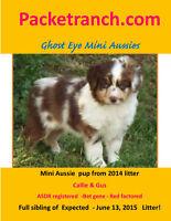 Mini Aussie- Miniature Australian Shepherd Pups For Sale !!!