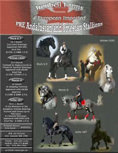 2 Andalusian Stallons PRE London Ontario image 3