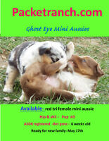 Mini Aussie- Miniature Australian Shepherd Pups For Sale !!!