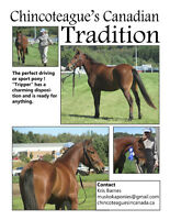 14 hh Horse For Sale - Chincoteagues Canadian Tradition