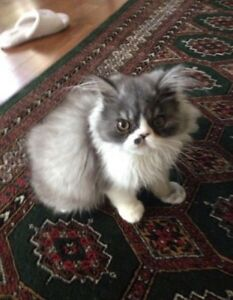 6 month teacup Persian kitten RARE