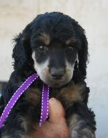 "CKC/UKC Small Standard Poodle ""Phantom"" Pups"