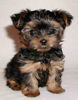 WANTED: SMALL BREED PUPPY (YORKIE)- MALE