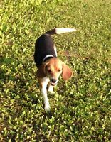 Beautiful female Beagle for sale