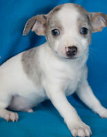 Tiny Blue Merle Chihuahua Puppies