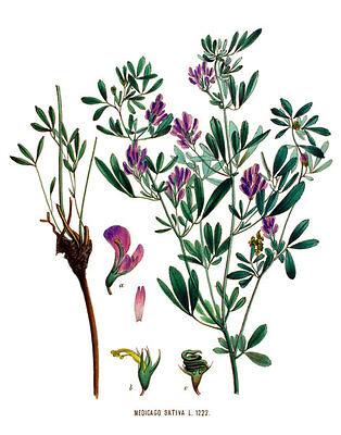 500 Semillas de Alfalfa (Medicago Sativus) seeds