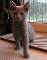 Russian Blue Female Kitten
