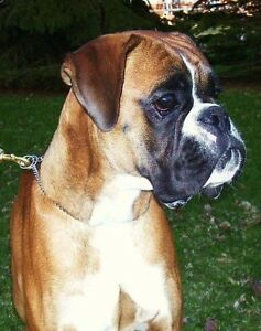 Boxer female ears cropped 6 months old St. John's Newfoundland image 4