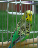 WANTED: LOOKING FOR A PAIR OF BUDGIES, CANARIES, LOVEBIRDS