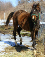 QH yearling Colt