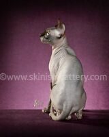 HEALTHY SPHYNX, ELF, BAMBINO KITTENS - SKINISIN CATTERY