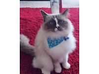1 year old male ragdoll