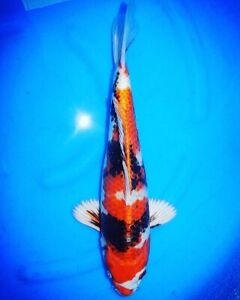 New shipment!! Rare exotic koi fish from Japan