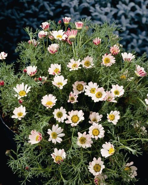Anacyclus depressus GNOME de Jardin 25 graines-VIVACES