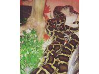 Late CB13 Female Burmese Python