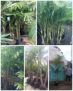 Bangalow Palms - Victorian and NSW Grown - Prices Start at $20 Greenvale Hume Area Preview