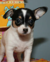 STUNNING REGISTERED CHIHUAHUA PUPPIES ONLY A FEW LEFT..