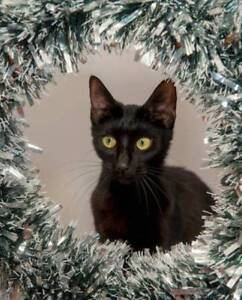 AC1066 : Padmé - CAT for ADOPTION - Vet Work Included