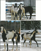Stunning! Double registered AQHA/APHA black n white Overo
