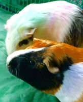 2 very friendly guinea pigs for sale with all necessities & more