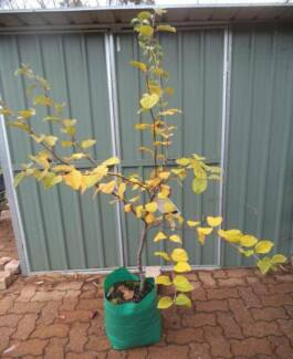 Quince Tree Potted