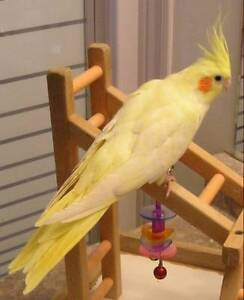 ❤❤ Extremely Friendly COCKATIEL Babies With CAGE ❤❤