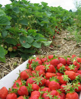 Fresh from the field Strawberries and produce