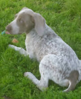 German Shorthaired Pointer female pup