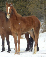 Rocky/Quarter Yearling Colt