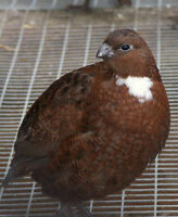 Tennessee Red Bobwhite Quails