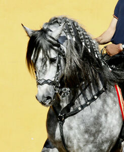 2 Andalusian Stallons PRE London Ontario image 5