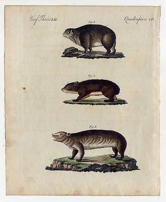 Klippschliefer-Schliefer-Tiere - Bertuch-Kupferstich 1800