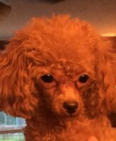 CKC REGISTERED FEMALE TEACUP POODLE