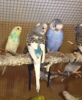 Baby budgies(3-5 months old)