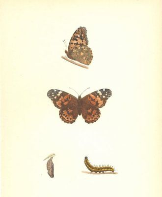 BUTTERFLIES. Painted Lady (Morris) 1895 old antique vintage print picture