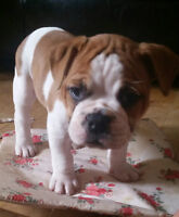 English Bulldog / American Bulldog Puppies