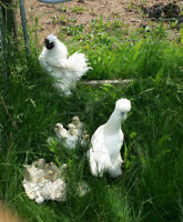 Silkie chicks 4 weeks and younger