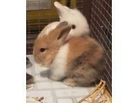 Adorable toilet trained Lion head Lop Eared Baby Rabbits