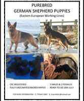 PUREBRED GERMAN SHEPHERD PUPPIES !!!