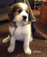 Bernese Mountain dog cross with Great Pyrenees