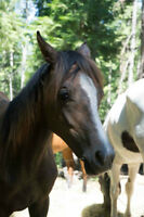 Yearling Arab filly
