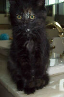 Chaton pour adoption - Marceline